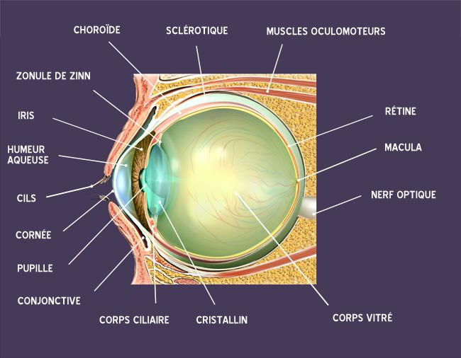 L 39 anatomie de l 39 il le guide de la vue - Couche du globe oculaire ...