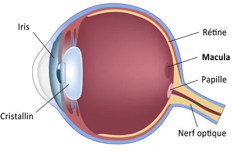 définition de la macula le guide de la vue